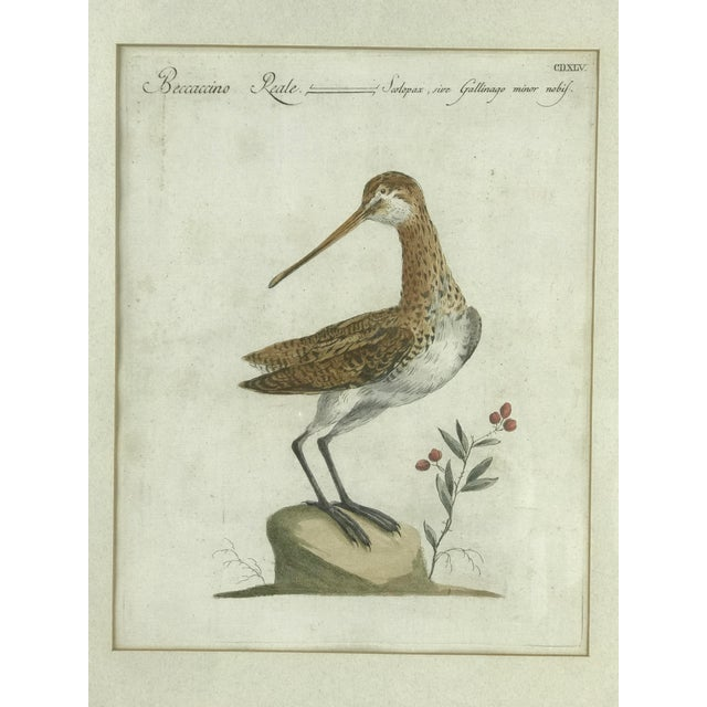 "Ca 1776 hand colored print titled ""Beccaccino Reale - Scolopax, sive Gallingo minor nolbis"" Showing view of a Snipe..."