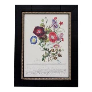 Botanical Print, Convolvulaceae For Sale