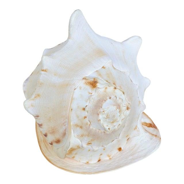 Large Specimen Cassidae Queen Helmet Shell For Sale