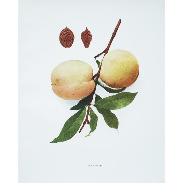 Large Antique Fruit Photoengravings - Set of 4 - Image 4 of 7