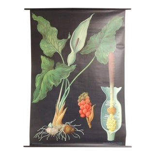 "Vintage Botanical West German Biology Print ""Arum"" by Hagemann, Germany, 1972"