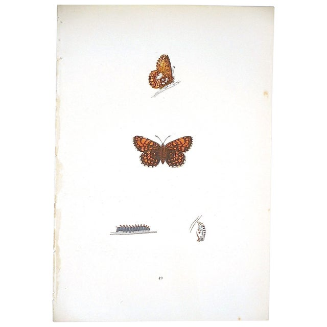 Antique English Butterfly Lithograph - Image 1 of 4
