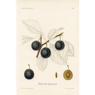 1912 Vintage Swedish Plum Print For Sale