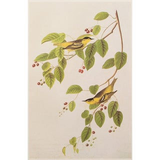 1960s Cottage Lithograph of Ncarbonated Warbler by John James Audubon