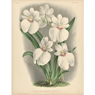 Botanical Orchid Lithograph For Sale