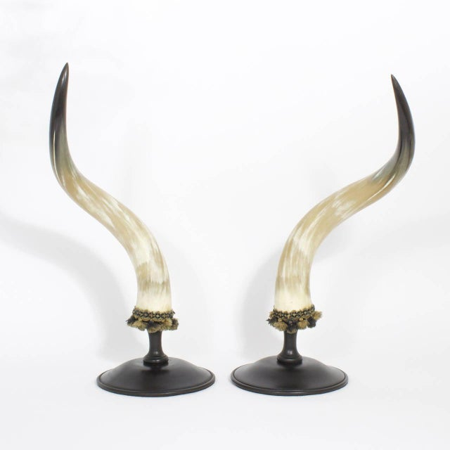 Large and formidable pair of steer or bull horns with bold dramatic form and polished to a sophisticated glow, trimmed...