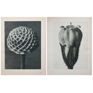 1935 Karl Blossfeldt Two-Sided Photogravure N67-68 For Sale