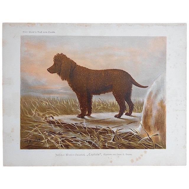 Antique Dog Lithograph - Irish Water Spaniel - Image 1 of 3