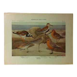 """1925 """"Turnstone - Red Backed Sandpiper"""" the State Museum Birds of New York Print For Sale"""