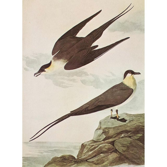 An excellent vintage Cottage or Nautical Style reproduction of the original lithographic print of Long-Tailed Jaeger by...