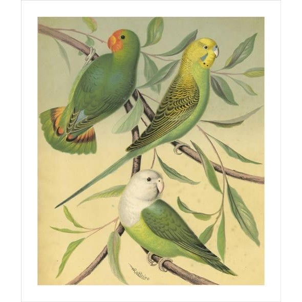 Antique 'Parakeet' Archival Print For Sale