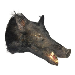 Wild Black Boar Exotic Taxidermy Shoulder Mount For Sale