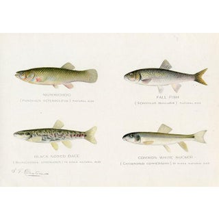 1901 North American Fish Print by Sherman Denton, Including the Fall Fish For Sale