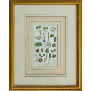 Antique Botanical Engraving