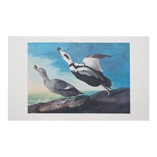 1960s Cottage Style Lithograph of Labrador Ducks by John James Audubon