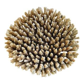 Large Natural Ocean Sea Nest Brown Coral Specimen
