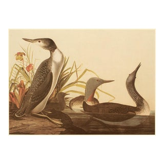 Red Throated Diver by Audubon, XL Vintage Cottage Print For Sale
