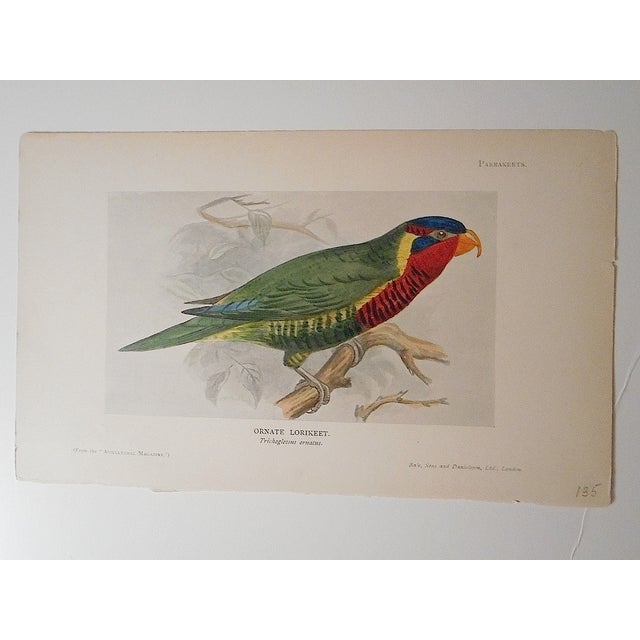 Antique 19th Century Parakeet Lithograph - Image 2 of 3