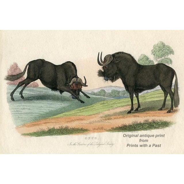 Gnus, 1830s English Engraving For Sale
