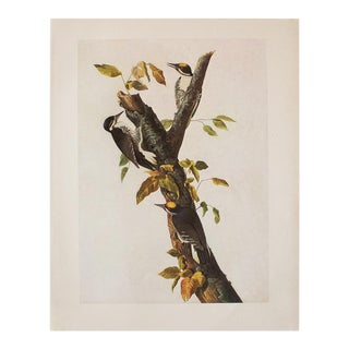 1966 Vintage Cottage Print of Three-Toed Woodpecker by Audubon For Sale