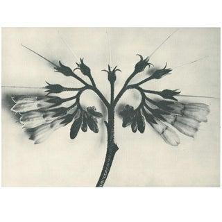 1928 Original Karl Blossfeldt Photogravure N88 of Symphytum Officinale For Sale