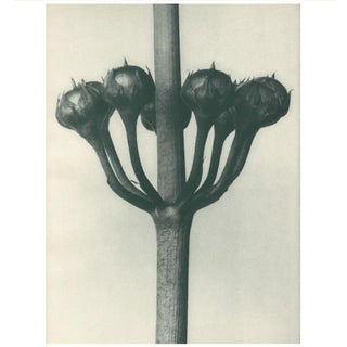 1928 Japanese Primrose, Original Period Photogravure N23 by Karl Blossfeldt Preview