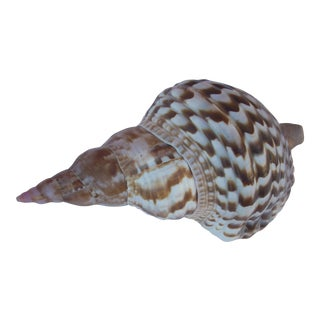 Large Triton Trumpet Seashell For Sale
