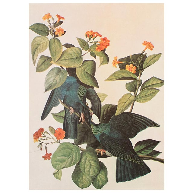 Teal White-Crowned Pigeon by John J. Audubon, Vintage Cottage Print For Sale - Image 8 of 8