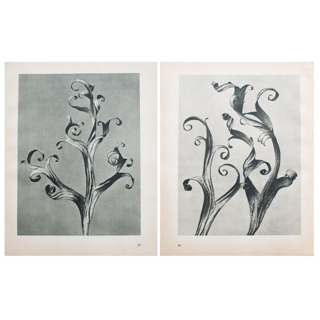 1935 Blossfeldt Photogravure N39-40 - Image 10 of 11