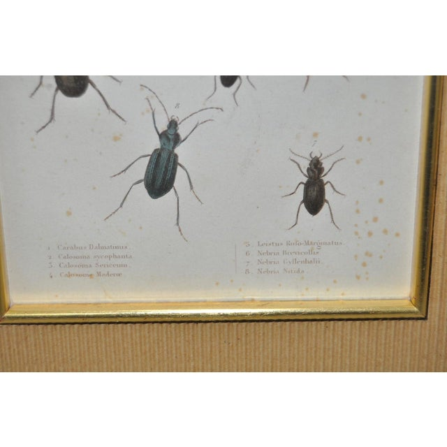 Pair of 19th Century Hand Colored Insect Plates - Framed For Sale In San Francisco - Image 6 of 8