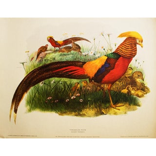 XL Original Magnificent Golden Pheasant by Daniel G. Elliot, Vintage Lithogravure For Sale