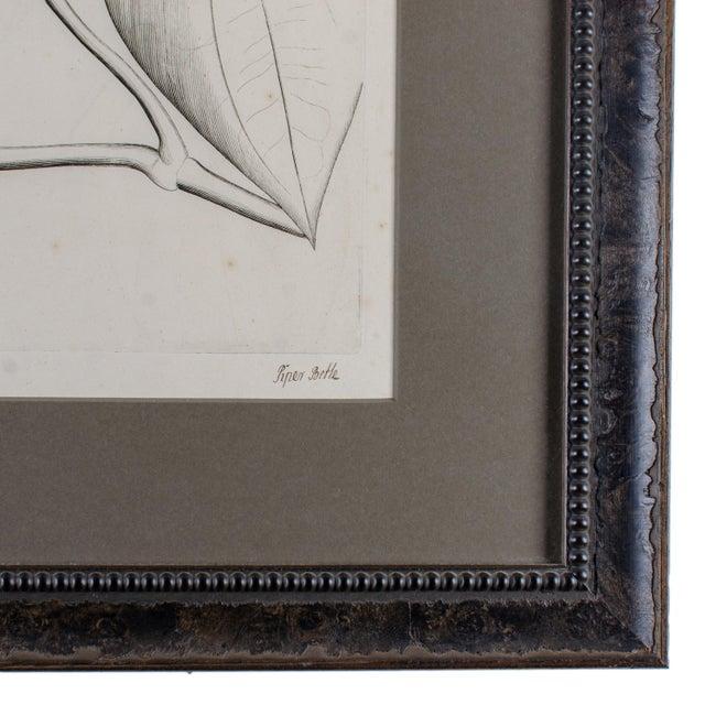 Hendrik Van Rheede Botanical Engravings, 17th Century - a Pair For Sale - Image 10 of 11
