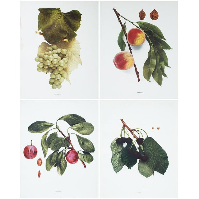 Printmaking Materials 1900s U. P. Hedrick, Original Fruits Photogravures - Set of 4 For Sale - Image 7 of 7