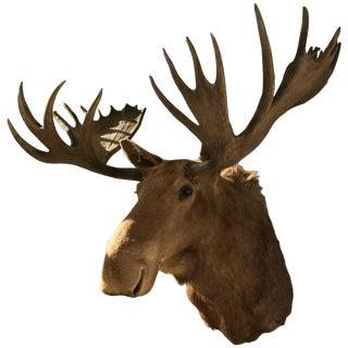 Massive Shoulder Mount of a Moose For Sale