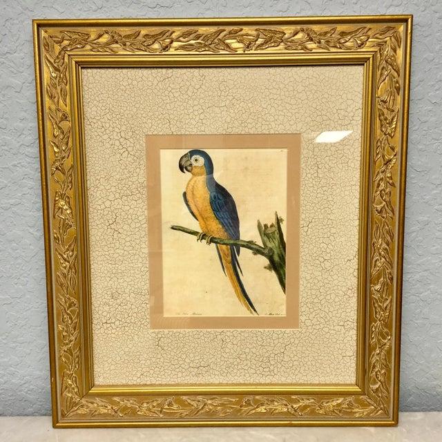 Goldenrod Vintage Framed Blue Macaw Lithograph Print For Sale - Image 8 of 9