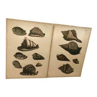 Seashells Specimen Canvas Frames, Pair For Sale