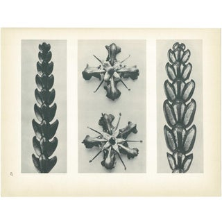 1928 Karl Blossfeldt Original Period Photogravure N67 Preview