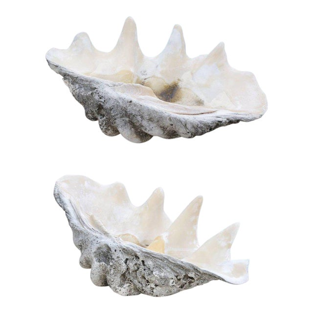 Complete Large-Scale Tridacna Gigas Clam Shell, Southern Pacific Ocean Reefs - a pair For Sale
