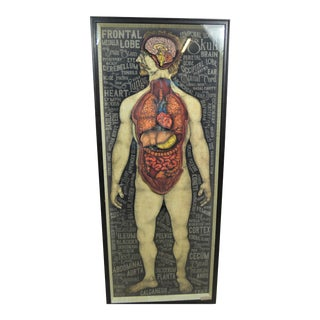 The Human Organ System in 3D Print For Sale