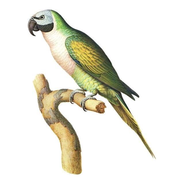 """Vintage Larousse Perroquet """"Moustache Parakeet"""" Color Lithograph For Sale"""