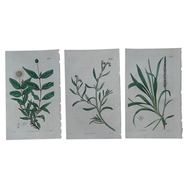 Antique Botanical Engravings - 3 - Image 1 of 3