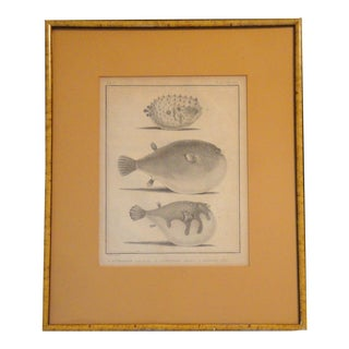 Nautical 18thC. French Antique Engraving of Puffer Fish For Sale