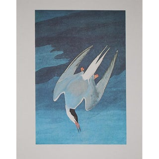 1960s Cottage Style Lithograph of a Arctic Tern by John James Audubon