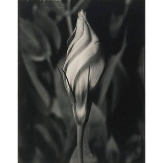 "Tom Baril ""Eustoma"" Photograph For Sale"