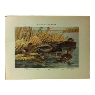 """1925 """"Mallard - Black Duck"""" the State Museum Birds of New York Print For Sale"""