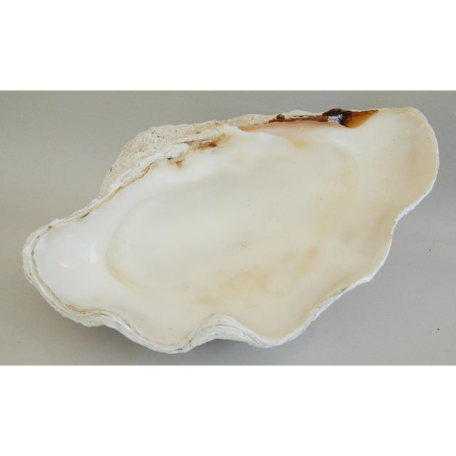 Antique Natural Saltwater Clamshell - Image 4 of 10