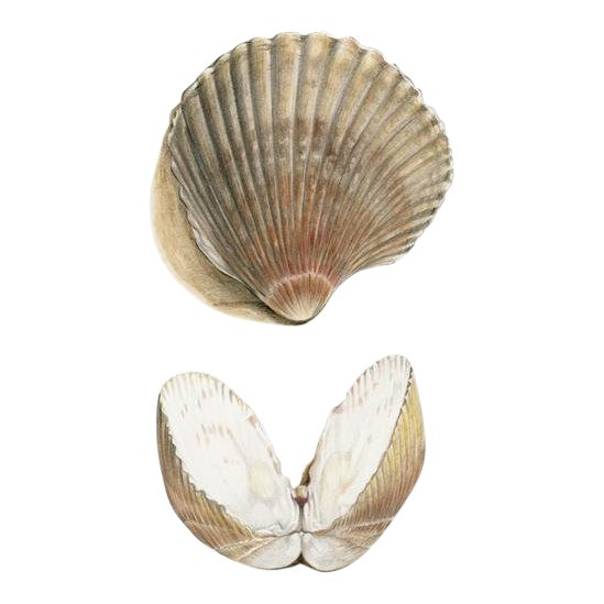 """Contemporary Natural History Drawing, """"Sea Shells"""" For Sale"""