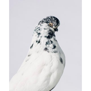 """Contemporary Limited Edition Long Faced Tumbler Pigeon Print by Brendan Burden (32x40"""") For Sale"""