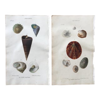 1823 John Mawe Sea Shell Lithograph Prints - A Pair