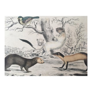 19th Century Oliver Goldsmith Ermine Weasel Ferret Engraving